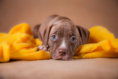 Pit bull puppy sweet Royalty Free Stock Images