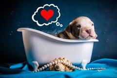 Pit Bull Puppy Wash In-Bad mit Schaum und denken an Liebe Lizenzfreies Stockfoto