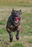 Pit-bull running Royalty Free Stock Images