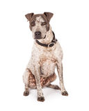 Pit Bull With Serious Expression Imagem de Stock Royalty Free