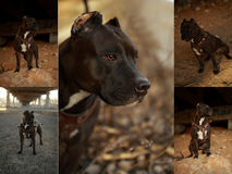 Pit bull Stock Images