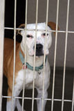 Pit bull sits in his cage. At the animal shelter royalty free stock images