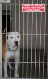 Pit bull sits in his cage at the animal shelter. Pit bull sits in his cage stock photo