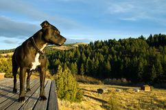 Pit Bull Terrier. A Pit Bull Terrier stands on a wooden porch overlooking a rural landscape Royalty Free Stock Images