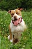 Pit Bull Terrier Imagem de Stock