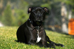 Pit Bull Terrier. A young, male Pit Bull Terrier relaxes on a lawn in summer Stock Photography