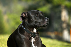 Pit Bull Terrier. A young, male Pit Bull Terrier relaxes on a lawn in summer Stock Photos