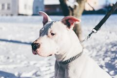 Pit bull terrier Stock Photos