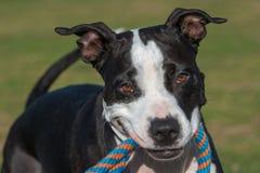 Pit Bull Terrier Fotos de archivo libres de regalías