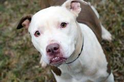 Pit Bull Terrier affrontato bianco Immagini Stock Libere da Diritti