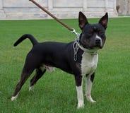 Pit bull terrier Stock Photo