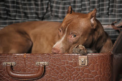 Dog in suitcase Royalty Free Stock Photos