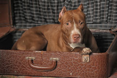 Dog in suitcase Stock Photography