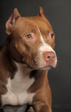Pit Bull Terrier. Brown and white pit bull terrier Stock Photos