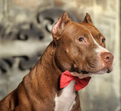 Pit Bull Terrier Stock Images
