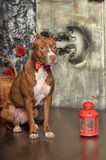 Pit Bull Terrier Royalty Free Stock Image