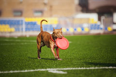 Pit Bull Terrier dog brings toy Stock Image