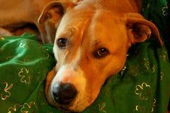 Pit Bull Terrier Dog bronzage et blanc avec la couverture de jour de St Patricks photographie stock libre de droits