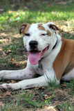 Pit bull terrier dog on the grass. Pit bull terrier with brown and white spots and its tongue hanging out Stock Images