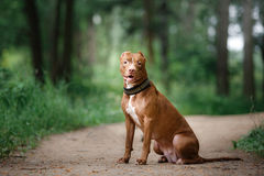 Pit bull terrier dog in the park. Red pet on the grass Stock Images
