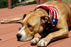 Pit Bull Terrier Dog Sleeping patriótico en cubierta imagen de archivo