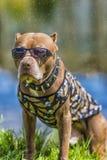 Pit Bull Terrier in een kraag met doornen Royalty-vrije Stock Foto's