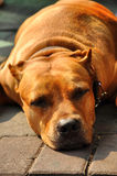 Pit Bull Terrier  Flop Brown Head Royalty Free Stock Photography