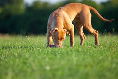 Pit Bull Terrier. On the grass outdoors Stock Images