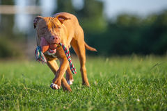 Pit Bull Terrier. On the grass outdoors Royalty Free Stock Photos