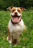 Pit bull terrier happy Stock Image