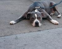 Pit Bull Terrier laying down. A Pit Bull Terrier laying flat on concrete Royalty Free Stock Images