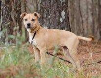 Pit Bull Terrier mezcló el perro de la raza Fotos de archivo libres de regalías