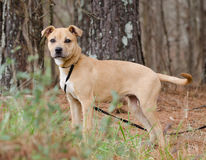 Pit Bull Terrier misturou o cão da raça Fotos de Stock Royalty Free