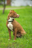 Pit Bull Terrier Stock Photography