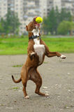 Pit Bull Terrier. Plays with the ball Royalty Free Stock Photos