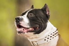 Pit Bull Terrier-Porträt auf Natur Stockbild