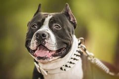 Pit Bull Terrier-Porträt auf Natur Lizenzfreie Stockbilder