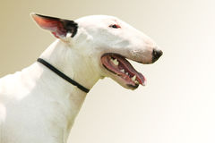 Pit Bull Terrier portrait royalty free stock photos