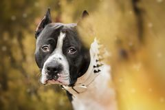 Pit Bull Terrier portrait on nature royalty free stock image