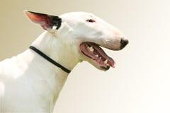 Pit Bull Terrier-portret Royalty-vrije Stock Foto's
