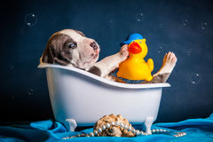 Pit bull terrier puppy in the bath Stock Image