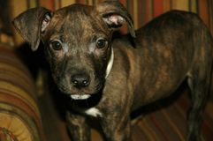 Pit bull Terrier Puppy. Dog looking at viewer Royalty Free Stock Photos
