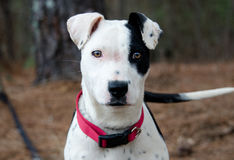 Pit Bull Terrier puppy dog Royalty Free Stock Photo