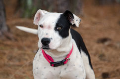 Pit Bull Terrier puppy dog Stock Photo