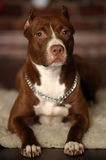 Pit Bull Terrier Stock Photo