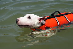 Pit bull terrier swimming. With red life vest royalty free stock images