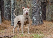 Pit Bull Terrier Royalty Free Stock Photography