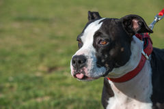 Pit Bull Terrier. Young black and white Pit Bull Terrier on a leash standing on a grass Royalty Free Stock Photo