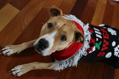 Pit Bull Wearing Ugly Christmas Sweater. Pit bull dog wearing ugly Christmas sweater on wood floor stock photography
