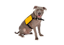 Pit Bull Wearing Yellow Service väst Royaltyfri Fotografi